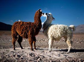 photo of llamas by Kuba Los, found at http://kubalos.com/south-american2/