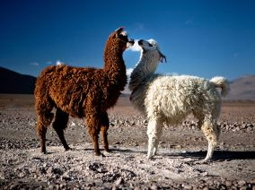 photo of llamas by Kuba Los, found at http://kubalos.com/south-american2/